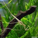 (昆虫)ミズカマキリ(3匹)