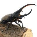 (昆虫)(オス単品)ヘラクレス・エクアトリアヌス エクアドル産 138mm(1匹) ヘラクレスオオカブトムシ 沖縄別途送料