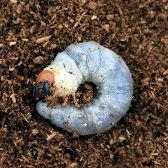 (昆虫)ニジイロクワガタ クィーンズランド産 幼虫(初〜2令)(5匹) 北海道航空便要保温