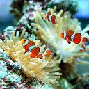 かわいらしくて人気者!(海水魚 熱帯魚)カクレクマノミ(国産ブリード)(2匹) 北海道・九...
