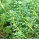 【まとめ割】 無農薬!水中葉の活きの良さが違う!■ミリオフィラムsp(ガイアナドワーフ)(水...