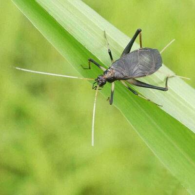 日本の伝統!良く鳴く組み合わせ!(昆虫)スズムシ 鈴虫 成虫(オス5匹+メス2匹)
