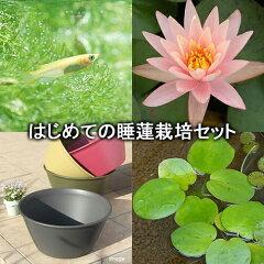 水辺の薔薇 睡蓮!メダカ・金魚に!(水辺植物)はじめての睡蓮栽培セット ピンク グレープ...