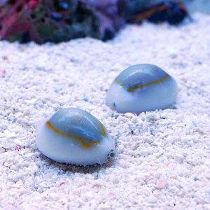 【まとめ割】(海水 貝 無脊椎)ハナビラタカラガイ(3匹) 北海道航空便要保温