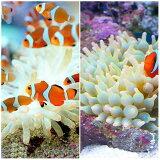 (海水魚)カクレクマノミ(2匹)+サンゴイソギンチャクセット 熱帯魚 北海道・九州航空便要保温