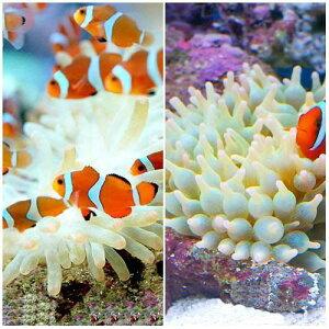 海水魚・無脊椎動物>生体・飼育セット(海水)カクレクマノミ(2匹)+サンゴイソギンチャクセ...