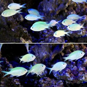 海水魚・無脊椎動物>海水魚>スズメダイ(海水魚)デバスズメダイ Mサイズ(10匹) 北海道・...