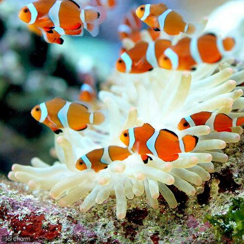 (海水魚 熱帯魚)カクレクマノミ(国産ブリード)(50匹)