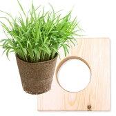 (観葉)スーダングラス 猫草 ネコちゃんの草 ECOポット植え 1ポット 木製スタンドセット クリアコート