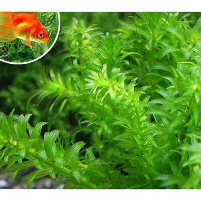 無農薬!(水草)金魚藻 エサ用アナカリス(50本)