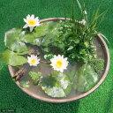 (睡蓮)はじめての熱帯性睡蓮(スイレン)ビオトープセット(熱帯性睡蓮(スイレン)白、陶鉢、水辺植物、メダカ他) 説明書付 本州・四国限定