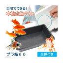 (金魚)自宅でできる 本格金魚すくい プラ箱60 金魚袋+ポイ+金魚生体付き 本州四国限定 その1