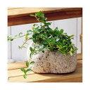 (観葉植物)苔盆栽 フィカス シャングリラ(つる性ガジュマル) 抗火石鉢植え Mサイズ(1鉢)