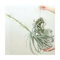□(観葉植物)エアープランツ ティランジア ドーラティ XLサイズ(1株) 沖縄別途送料