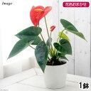 (観葉植物)アンスリウム(花色おまかせ) 4〜5号(1鉢) 北海道冬季発送不可