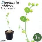 (観葉植物)ステファニア ピエレイ コーデックス 3号(1鉢)