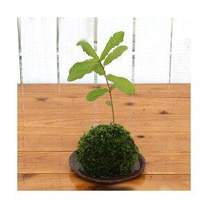 (बोनसाई) मोस जेड एकोर्न ट्री (1) सजावटी पौधे मॉस जेड (डायपॉज)