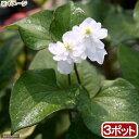 (ビオトープ)水辺植物 八重咲きドクダミ(3ポット) 湿生植物