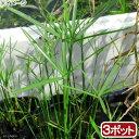 (ビオトープ)水辺植物 ミニシペルス(3ポット分) 湿生植物 (休眠株)