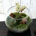 (観葉植物)苔Terrarium 和景レイアウトセット 〜おまかせ小品盆栽苗〜 説明書付