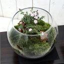 (観葉植物)苔Terrarium 和景レイアウトセット 〜紅鳥花(コウチョウゲ)〜 説明書付