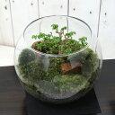 (観葉植物)苔Terrarium 和景レイアウトセット 〜楡欅(ニレケヤキ)〜 説明書付