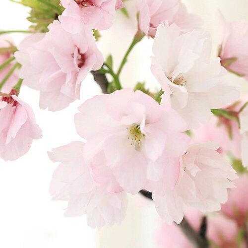 (盆栽)苔盆栽アサヒヤマサクラ(旭山桜)化粧砂付き〜白溶岩石鉢〜Mサイズ(1鉢)