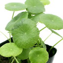 (ビオトープ)水辺植物 ウォーターコイン(ウォーターマッシュルーム)(1ポット) 湿生植物 (休眠株)