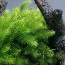 (観葉植物)苔 ヒノキゴケ 4パック分