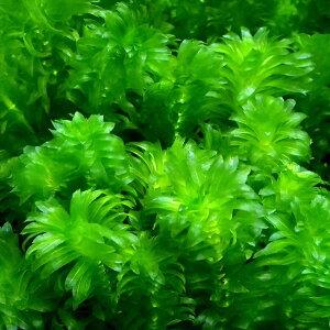 (水草)メダカ・金魚藻 国産 無農薬アナカリス(20本) 北海道航空便要保温