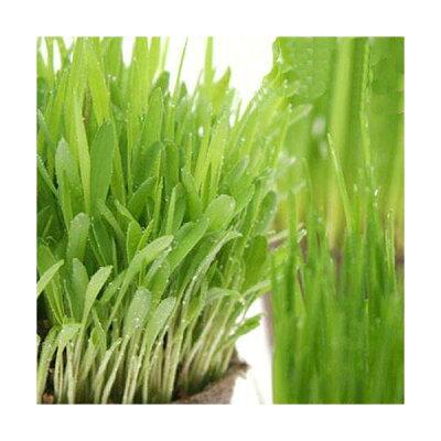 無農薬!葉が出た状態で発送!すぐに食べられる!(観葉)猫草 やわらか生牧草お試し3種セット...