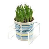 (観葉)ペットグラス 猫草 ネコちゃんの草 燕麦 直径8cmECOポット植え(無農薬)(鉢カバー付き・ブルー・アクリル製鉢カバー受け)