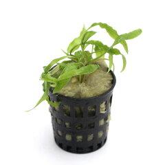 """組織培養で育てられた水草です!無農薬!■《組織培養》クリプトコリネ ウェンティー """"グリ..."""