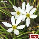 (ビオトープ)水辺植物 タマスダレ(玉簾)(1ポット) 湿生