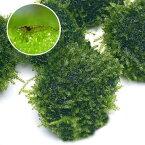 (エビ)(水草)ミナミヌマエビ(5匹)+(水草)巻きたて 南米ウィローモスボール(無農薬)(1個) 北海道航空便要保温