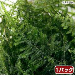 無農薬!(水草)ウィローモス ミックス ミニパック(無農薬)(1パック)