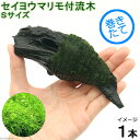 (水草)巻きたて セイヨウマリモ付 流木 Sサイズ(無農薬)(1本) 北海道航空便要保温