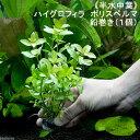 (水草)半水中葉 ハイグロフィラ ポリスペルマ 鉛巻き(無農薬)(1個) 北海道航空便要保温