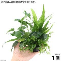 残留農薬処理済!豪華な寄せ植えセット!(水草)ハニカムシェルター 寄せ植えミックス Ver....