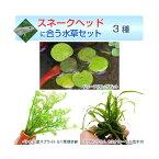 (水草)スネークヘッドに合う水草セット 1500円 3種(1パック)(説明書付) 熱帯魚