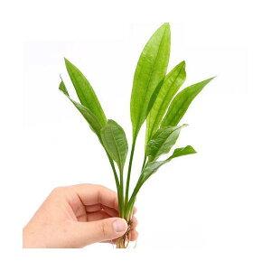 (水草)Sサイズ 国産 無農薬 アマゾンソード(草丈15〜20cm前後)(2株)