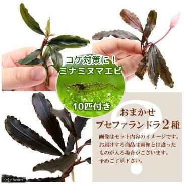 (エビ 水草)おまかせブセファランドラ(無農薬)(2種1株ずつ)+ミナミヌマエビ(10匹)