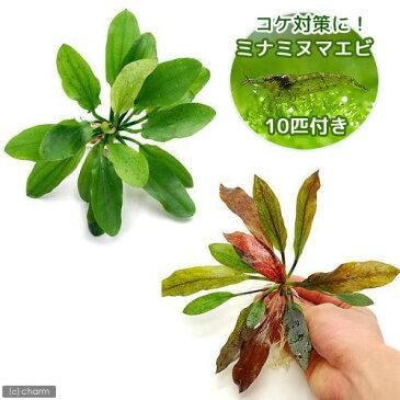(エビ 水草)おまかせエキノドルス 2種(無農薬)(各1株)+ミナミヌマエビ(10匹)