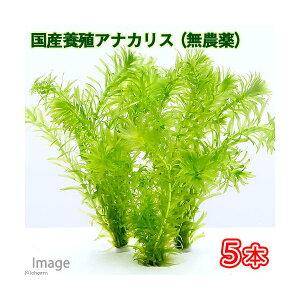 安心の国産 無農薬!(水草)金魚藻 国産(養殖) 無農薬アナカリス(5本)