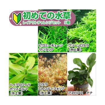(水草)初めての水草 レイアウトチャレンジセット 5種+ピンセット付き (水上葉) 本州・四国限定 熱帯魚