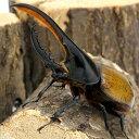 (昆虫)ヘラクレス・モリシマイ ボリビア産 幼虫(初〜2令)(1匹) ヘラクレスオオカブトムシ