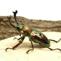 昆虫>カブトムシ・クワガタ>外国産クワガタ(成虫)(昆虫)ニジイロクワガタ クィーンズラ...
