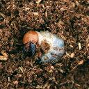 (昆虫)パラワンオオヒラタクワガタ ブルックスポイント産 幼虫(初〜2令)(1匹) 外国産クワガタ