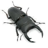 (昆虫)国産オオクワガタ 産地累代数不明 成虫 65〜69mm(1ペア)