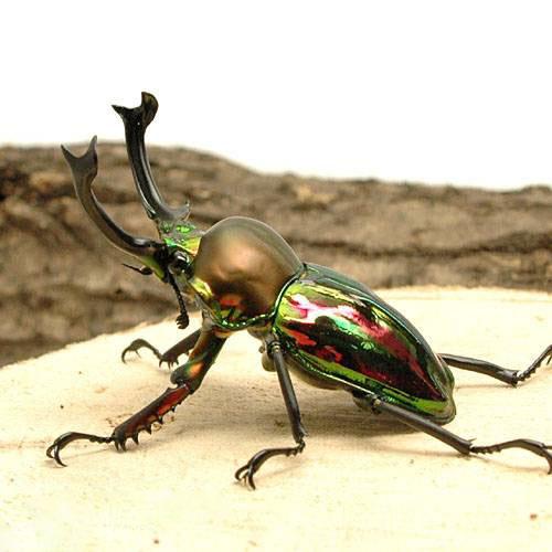 (昆虫)ニジイロクワガタ クィーンズランド産 成虫 60mm(1ペア)